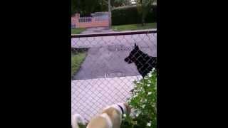 Zeus American Bulldog 5 Months Sees German Shepherd Rottweiler Mix