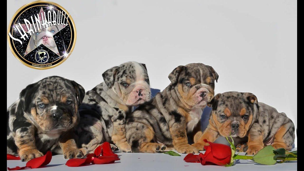 ENGLISH BULLDOG PUPPIES BLUE MERLE merle puppies - YouTube