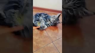 Лучшая и недорогая игрушка для котенка Мейн-куна. Рейтинг составлен по отзывам самих котят.
