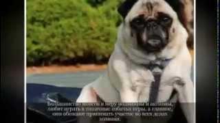 Маленькие породы собак МОПС