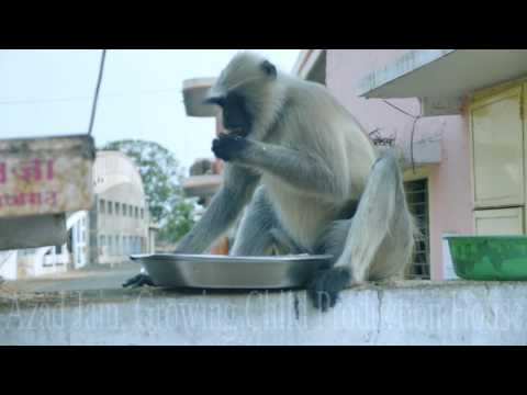 Black Monkey Eating chickpeas/chana at Mohankheda Jain Tirth.Indian Kala Bandar eat.