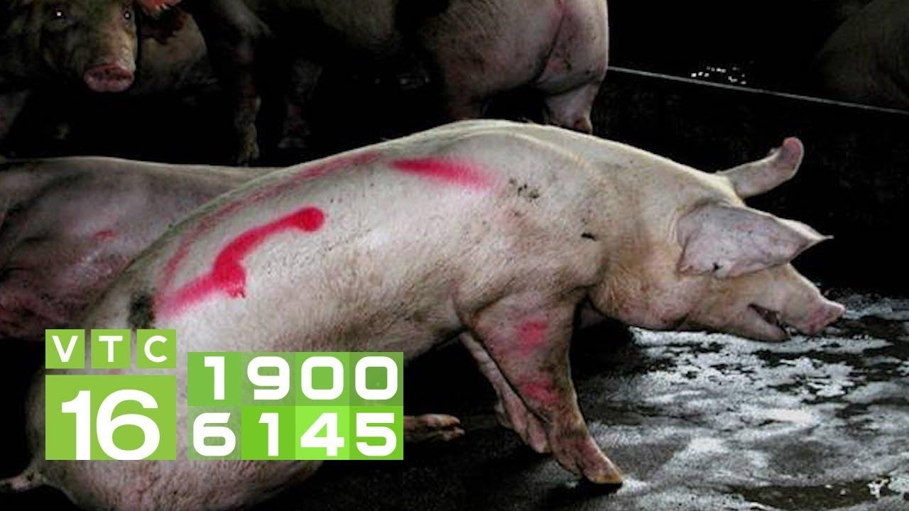 Khắc phục lợn mắc bệnh tụ huyết trùng cấp tính | VTC16