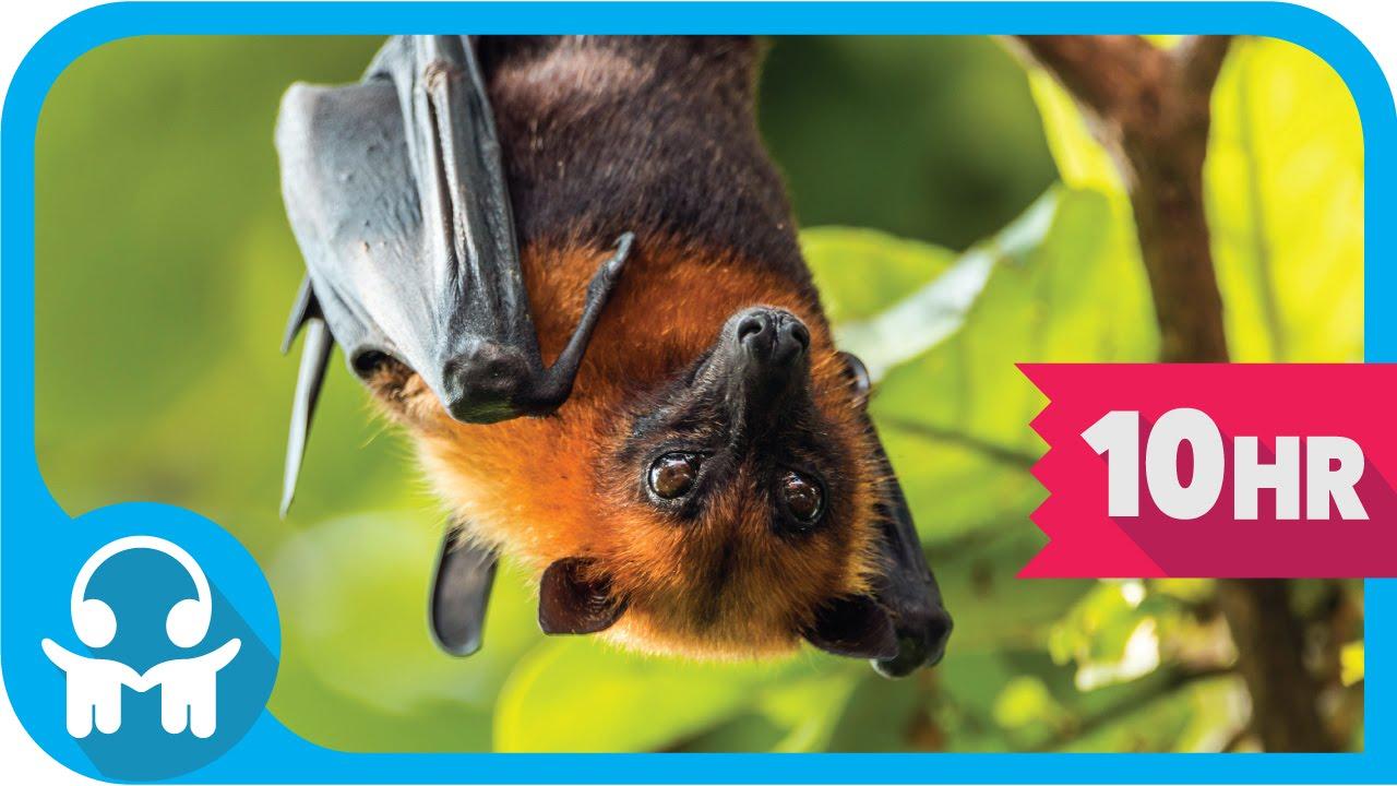 White Noise Nature Sounds Australian Bats Youtube