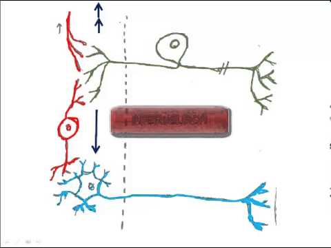 2 types of neurons and the reflex arc youtube types of neurons and the reflex arc ccuart Images