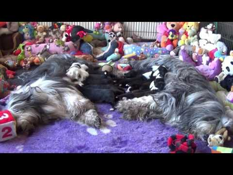 Bearded Collie puppies 13 January 2017