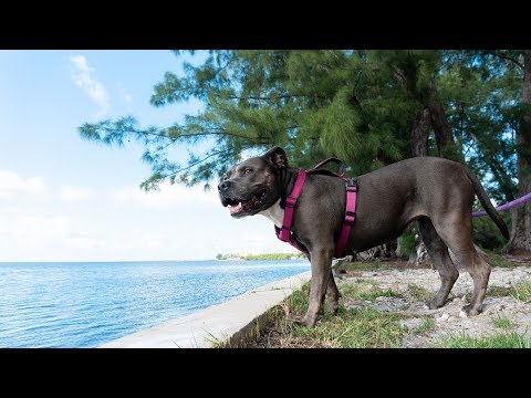 Morning Walk With a Blue American Staffordshire Terrier
