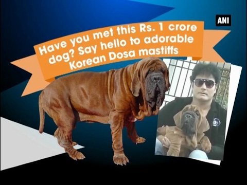Have you met Rs. 1 crore dog? Say hello to adorable Korean Dosa mastiffs - ANI #News