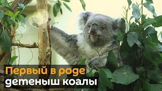 Долгожданный детеныш коалы появился в Венском зоопарке