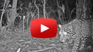 Paso Pacifico Camera Trap Captures Jaguar- English