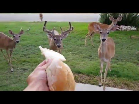 Hand Feeding Deer in Front Yard.