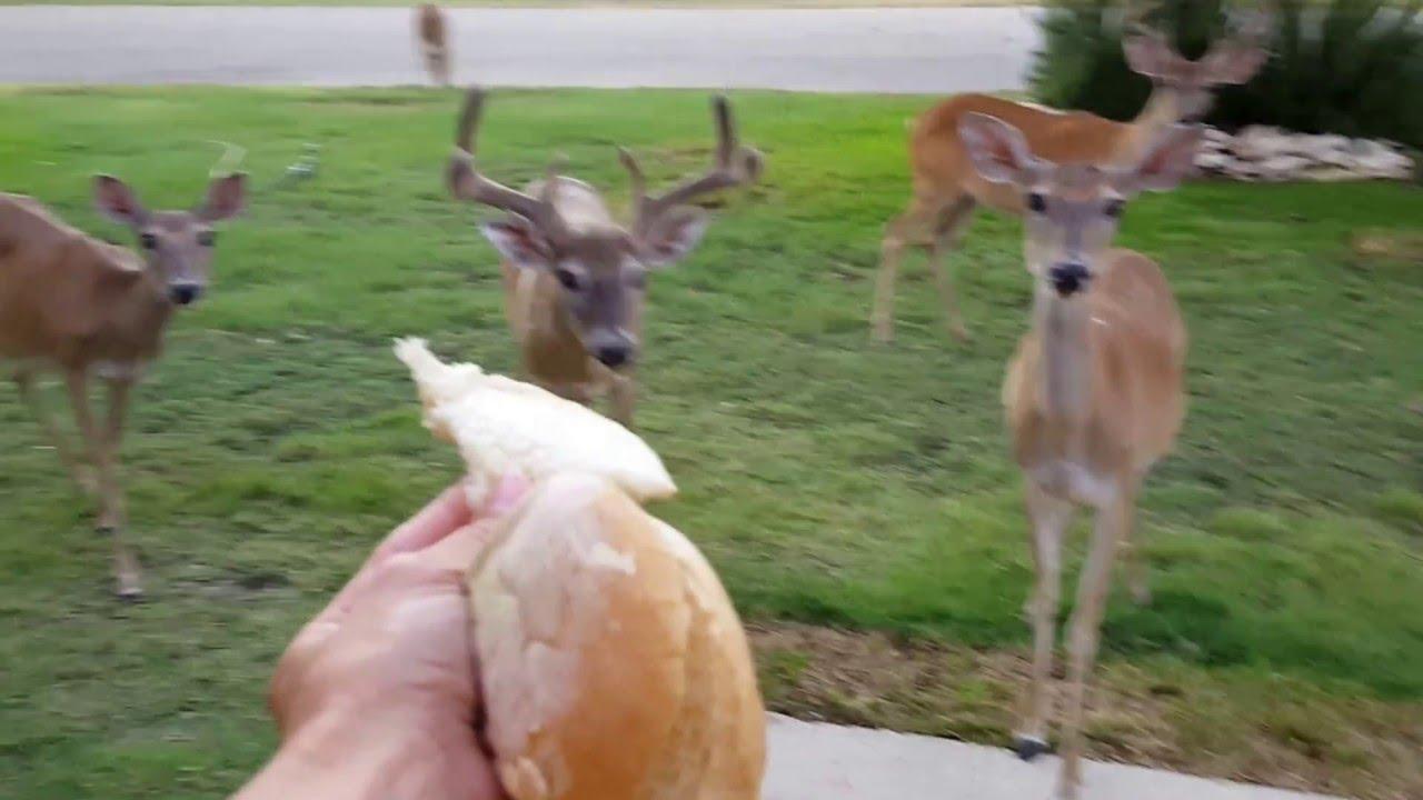 Hand Feeding Deer In Front Yard