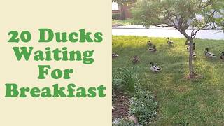 20 Hungry Ducks Waiting For Breakfast