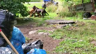 GRAPHIC TO SOME VIEWERS!   BULL MASTIFF'S 1st MATING SESSION!