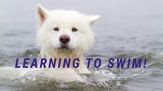 Samoyed Learning to Swim!