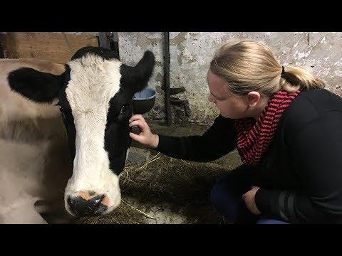 Expeditie Grunnen: scheert de koeien bij boer Dirk | RTV Noord