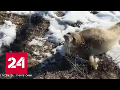 Тюлень в степях Казахстана. Детеныш нерпы заблудился в казахстанской степи