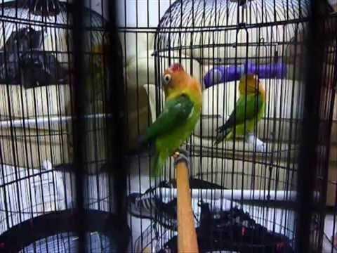 gambar jual love bird marimas pasjo ngekek abis burung 9