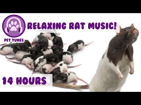 How To Calm My Rat, This is The Only Music That Works With Stressed, Anxious Rats and Mice 14 Hours!