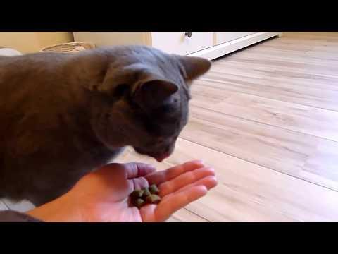 BALBINA kot kartuski 14 m-cy (chartreux cat) - 13. KARMIENIE Z RĘKI 2