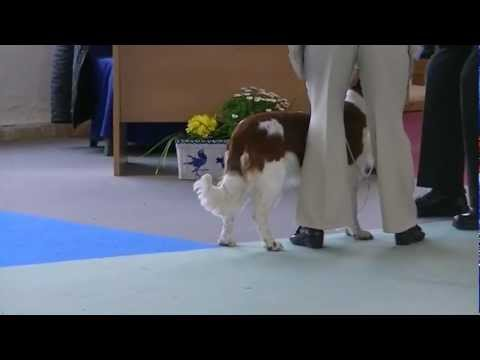 Welsh Springer Spaniel C Delightful (Ruby) at Granada