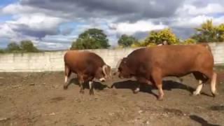 Combat de taureaux de candido