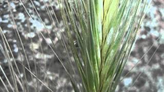 ESPIGAJO: Hordeum murinum (www.riomoros.com)