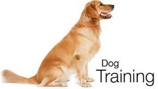 Pro Dog Training | Labrador Puppy Dog Training & Tricks
