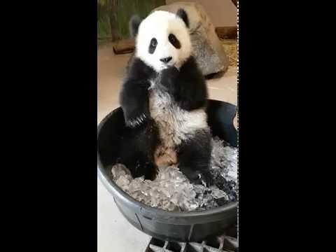 Toronto Zoo Giant Panda Jia Panpan Meets Ice