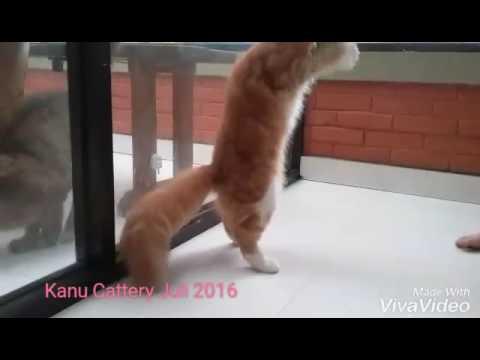 Kucing Maine Coon Bandung