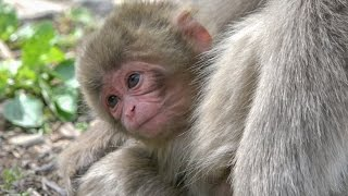 【SNOW MONKEY】 ☆Cute Baby Birth☆ 2 / Placenta and Umbilical cord 地獄谷野猿公苑