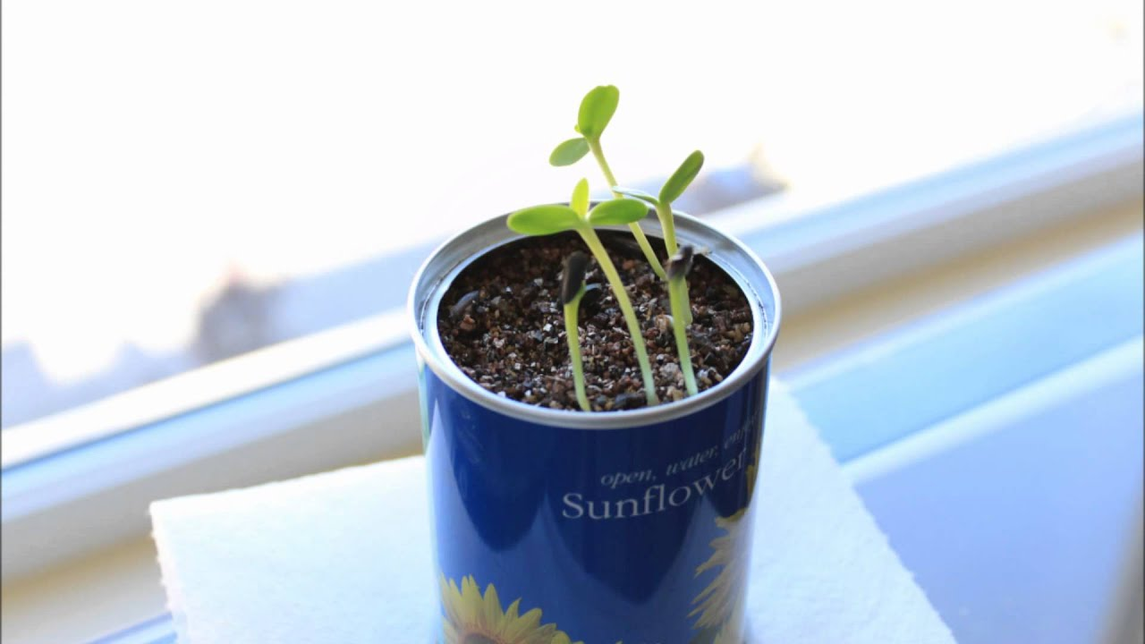 25  trending Growing sunflowers ideas on Pinterest | Growing ...