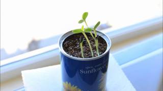 Sunflower Seeds Growing