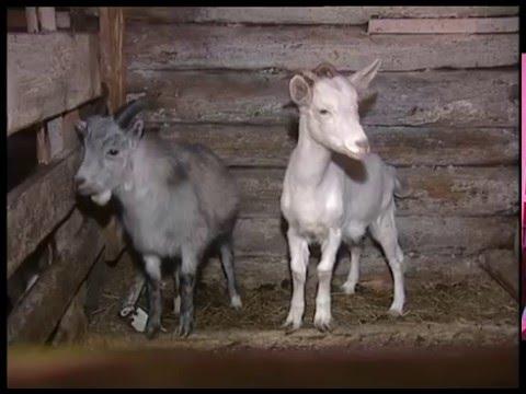 О домашнем разведении коз. Урожайные грядки.