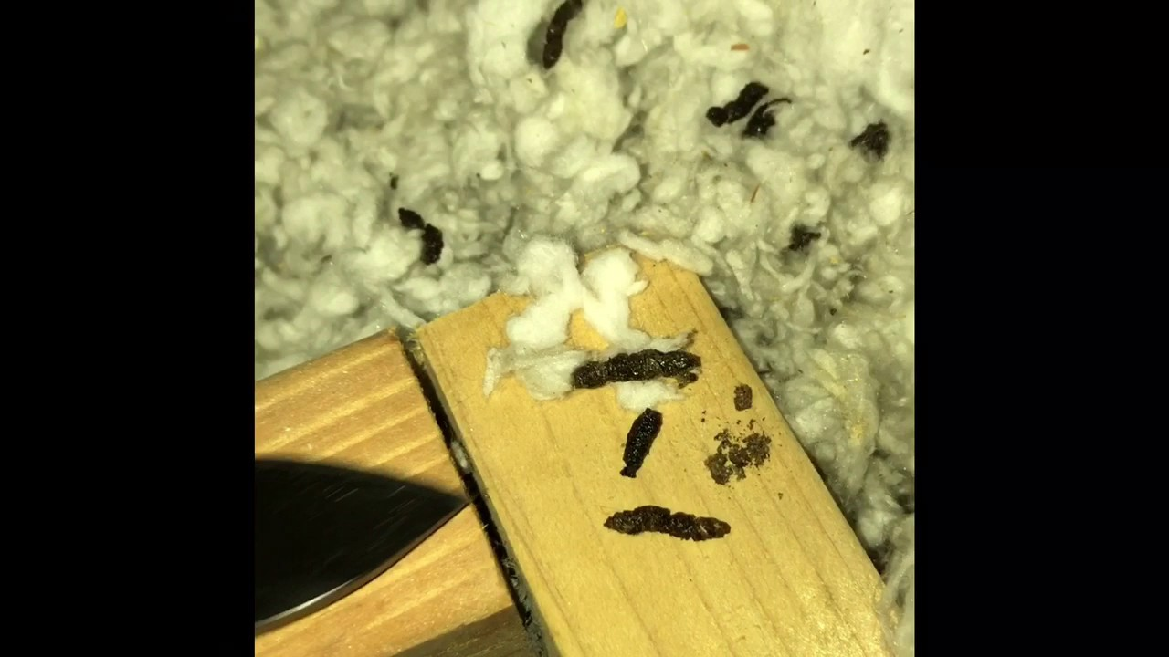 How To Identify Bat Droppings In Attic Youtube