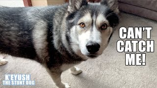 trying-to-catch-a-husky-and-chat-about-a-cat