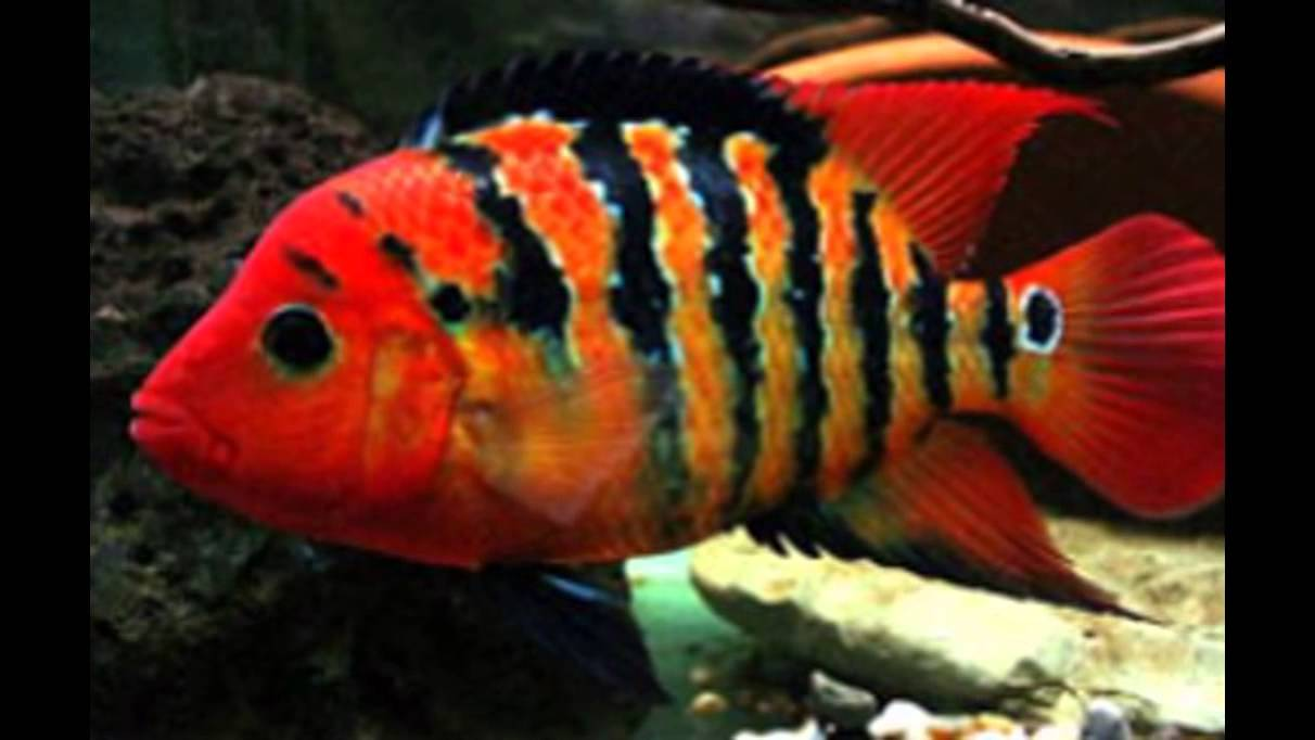 Top 7 most beautiful cichlids. - YouTube