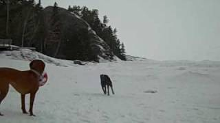 Blue Weimaraner And Vizsla Playing In The Lake Superior Winter Snow
