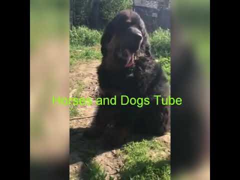 Black Tibetan Mastiff Dog
