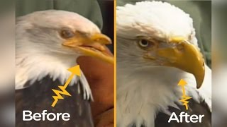 Bald Eagle Shot In The Face Gets 3D-Printed Beak | The Dodo Tech