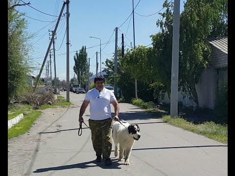 Фото собаки алабай Взрослая собака алабая