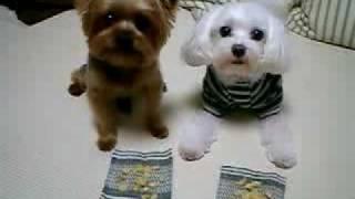 Yorkshire Terrier Toy Chien Jouet Bichon Jeux