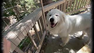 Ode to Ferny  Louis and The Great Pyrenees Fencing Project