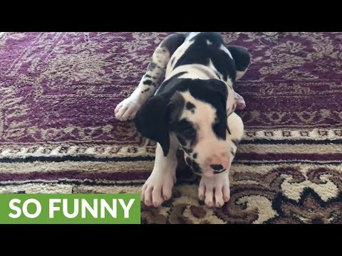 Teaching a 7-week-old Great Dane puppy to sit