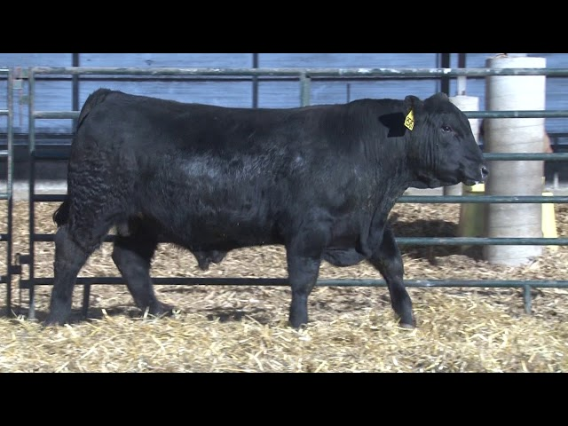 Schiefelbein Angus Farms Lot 237