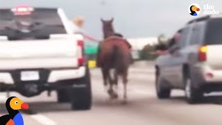 Horse Lost On Highway Saved by Kind Drivers | The Dodo