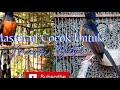 Suara Burung Sikatan Cocok Untuk Memasteri Murai Batu  Mp3 - Mp4 Download