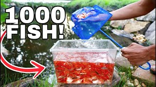 thousand-goldfish-released-in-tar-water