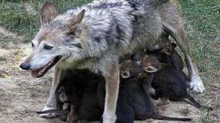 Dimitri van Toren - Want er zijn geen wolven in het bos