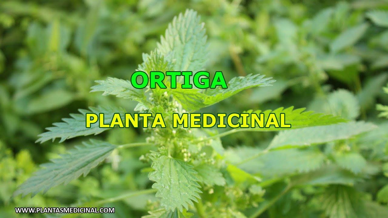 La ortiga propiedades y beneficios youtube for Planta decorativa propiedades medicinales