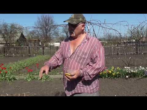Редиска в открытом грунте. Посев редиски на даче.
